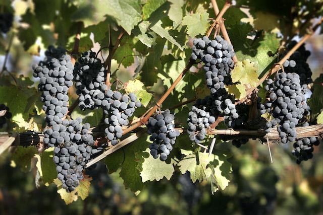 6 Viña Cobos - uva