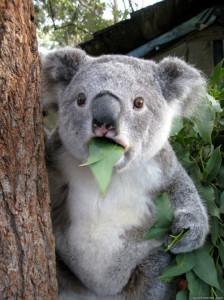 what_koala